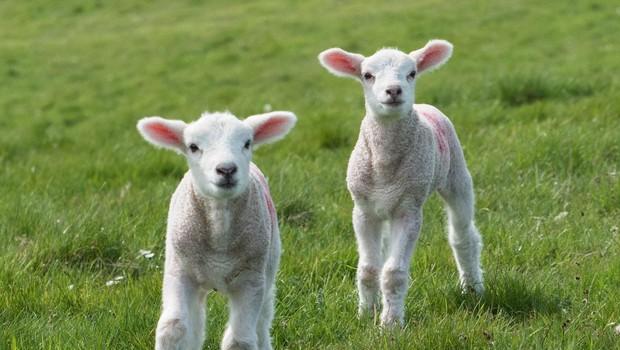 Francija: V znak protesta kmet v šolo vpisal 15 ovc! (foto: profimedia)
