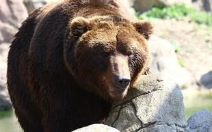 Slovenska medvedka v Franciji in Španiji napadla drobnico in vznemirila kmete