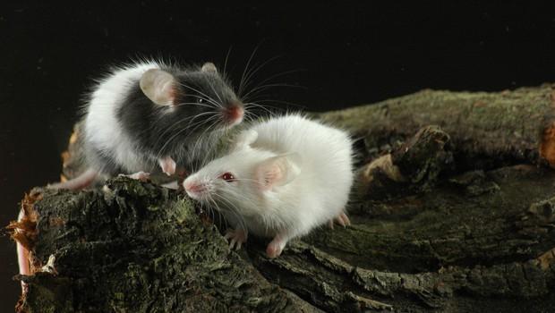 NIJZ: Porast mišje mrzlice v Sloveniji (foto: Profimedia)