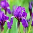 Nina Kasandra Klun: Iris ali perunika