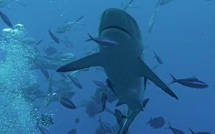 V južni Dalmaciji že nekajkrat opazili morskega psa