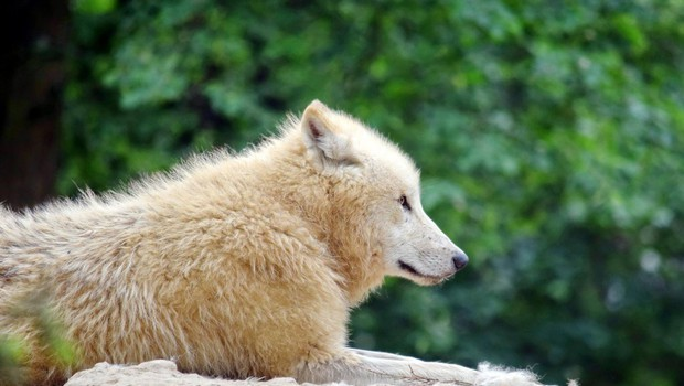 V Sibiriji so našli skoraj nedotaknjeno 32.000 let staro glavo volka (foto: profimedia)