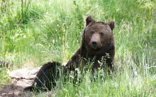 Vrh nad Želimljami: Medvedka napadla starejšo žensko