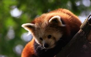 Halle: V živalskem vrtu je na svet prišel prvi lisičji panda
