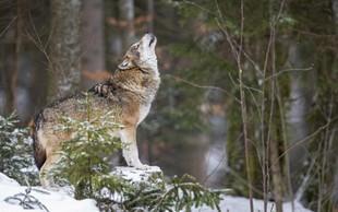 Sprejmite svojega notranjega volka samotarja in pojdite po lastni poti