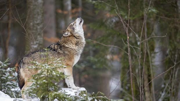 Sprejmite svojega notranjega volka samotarja in pojdite po lastni poti (foto: profimedia)