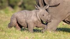 V Indiji zaradi poplave poginilo najmanj 12 nosorogov ogrožene vrste