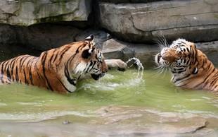 Mednarodni dan tigrov: Danes  jih živi samo še od 3800 do 5210!