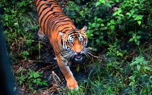 V živalskem vrtu v New Yorku z novim koronavirusom okužen tiger