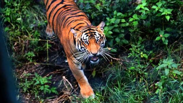 Nepal: Na 2.500 metrih nadmorske višine prvič opazili tigra (foto: STA/Xinhua)