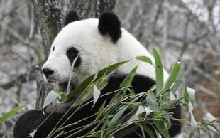 Orjaška panda Hao Hao je v belgijskem živalskem vrtu skotila dvojčka