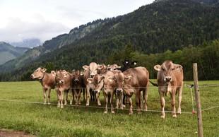 Avstrijsko sodišče delno krivdo pripisalo ženski, ki jo je krava poteptala do smrti!
