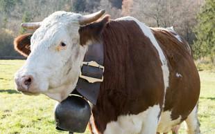Kdo je kravam ukradel zvonce?