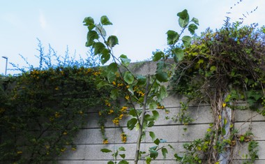 Jablana na Perlinem vrtu.