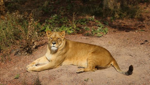 VIDEO: V živalskem vrtu v Bronxu ženska nespametno vstopila v ogrado z levi! (foto: Profimedia)