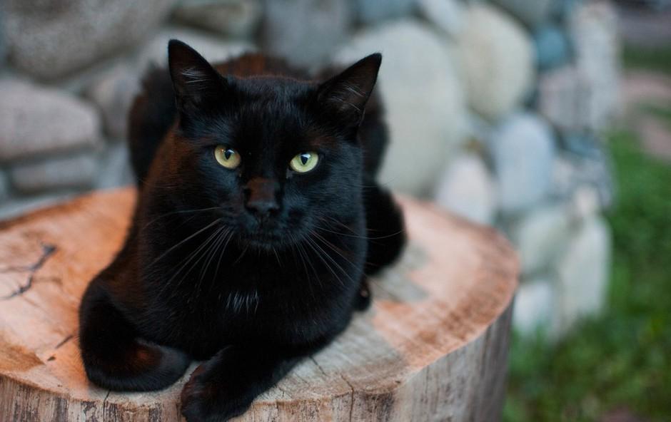Črna mačka presenetila igralce ameriškega nogometa: Med tekmo se je sprehodila po igrišču (foto: Profimedia)