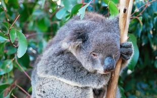 V požarih v Avstraliji verjetno poginilo več kot 2000 koal