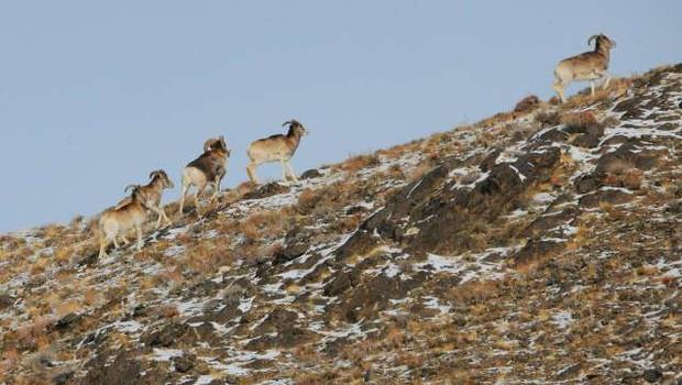 Trump mlajši je v Mongoliji ustrelil ogroženo vrsto ovce