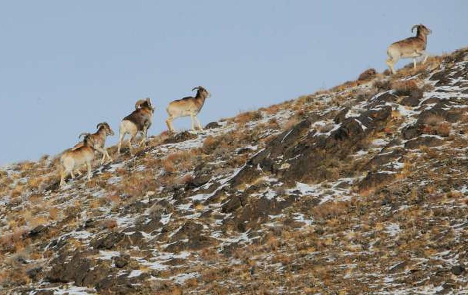 Trump mlajši je v Mongoliji ustrelil ogroženo vrsto ovce (foto: STA/Xinhua)