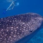 ... na Havajih pa jim družbo delajo morska bitja - kiti. (foto: Foto: Oa)