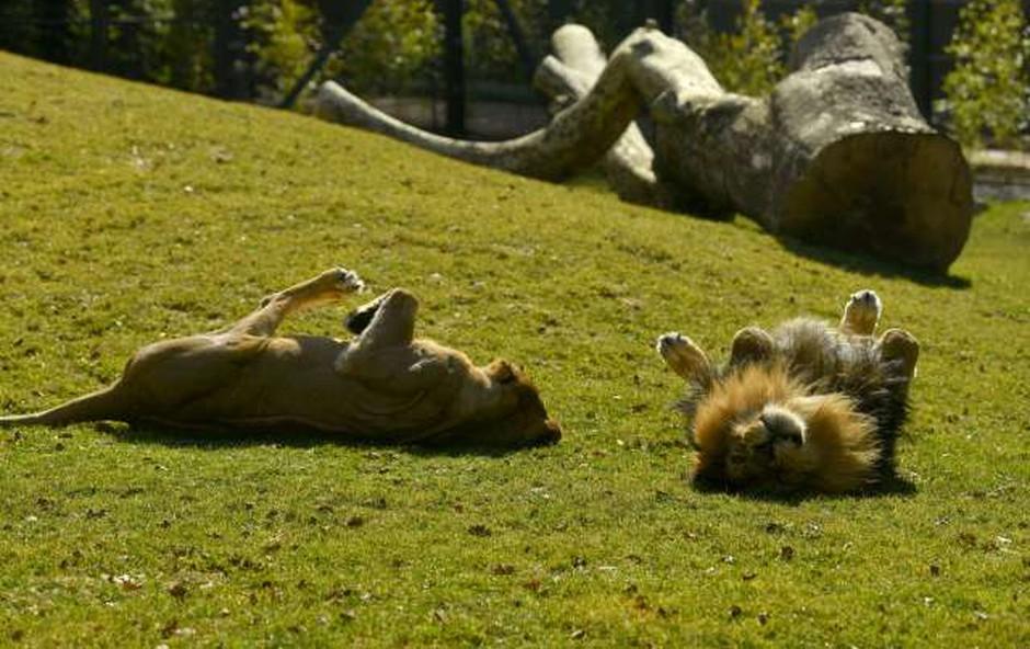 Živalski vrt v Ljubljani vnovič odprl vrata za obiskovalce (foto: STA/Tamino Petelinšek)