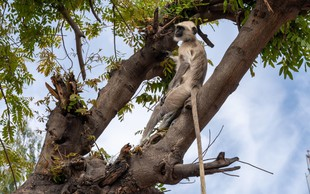 Scenarij kot iz Planeta opic: v Indiji opice iz laboratorija ukradle covid vzorce