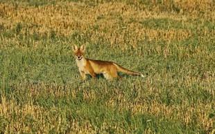 Med snemanjem videa v restavracijo zašla lisica s sumom na steklino