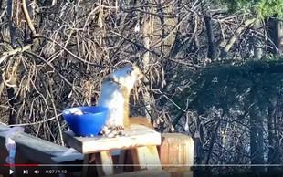 'Pijana veverička', ki je pojedla preveč fermentiranih hrušk, postala viralni HIT!