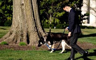 Major je spet ugriznil! Bi morali Bidenovega psa umakniti iz Bele hiše?