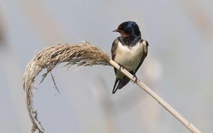 Lastovka - mala velika ptica, ki s septembrom odhaja na dolgo pot