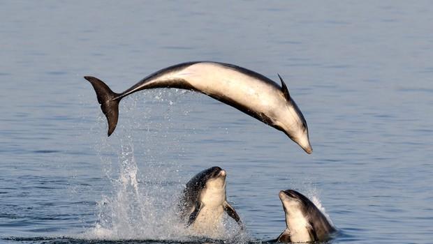 Srhljivi posnetki poboja delfinov, ni za občutljive želodce