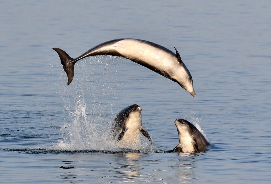 Srhljivi posnetki poboja delfinov, ni za občutljive želodce (foto: Profimedia)
